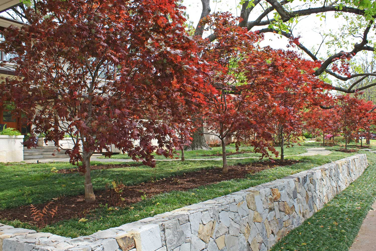 Japanese Maples planted in a row create a great contrasting color for most stone materials used.