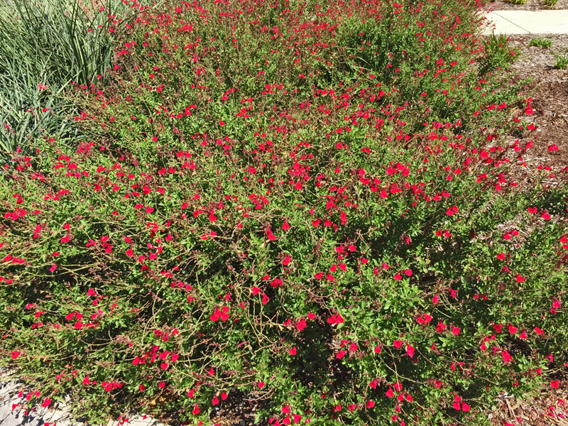 Salvia greggii is an example of a native plant that is heat tolerant and still provides a lengthy bloom season into the fall.