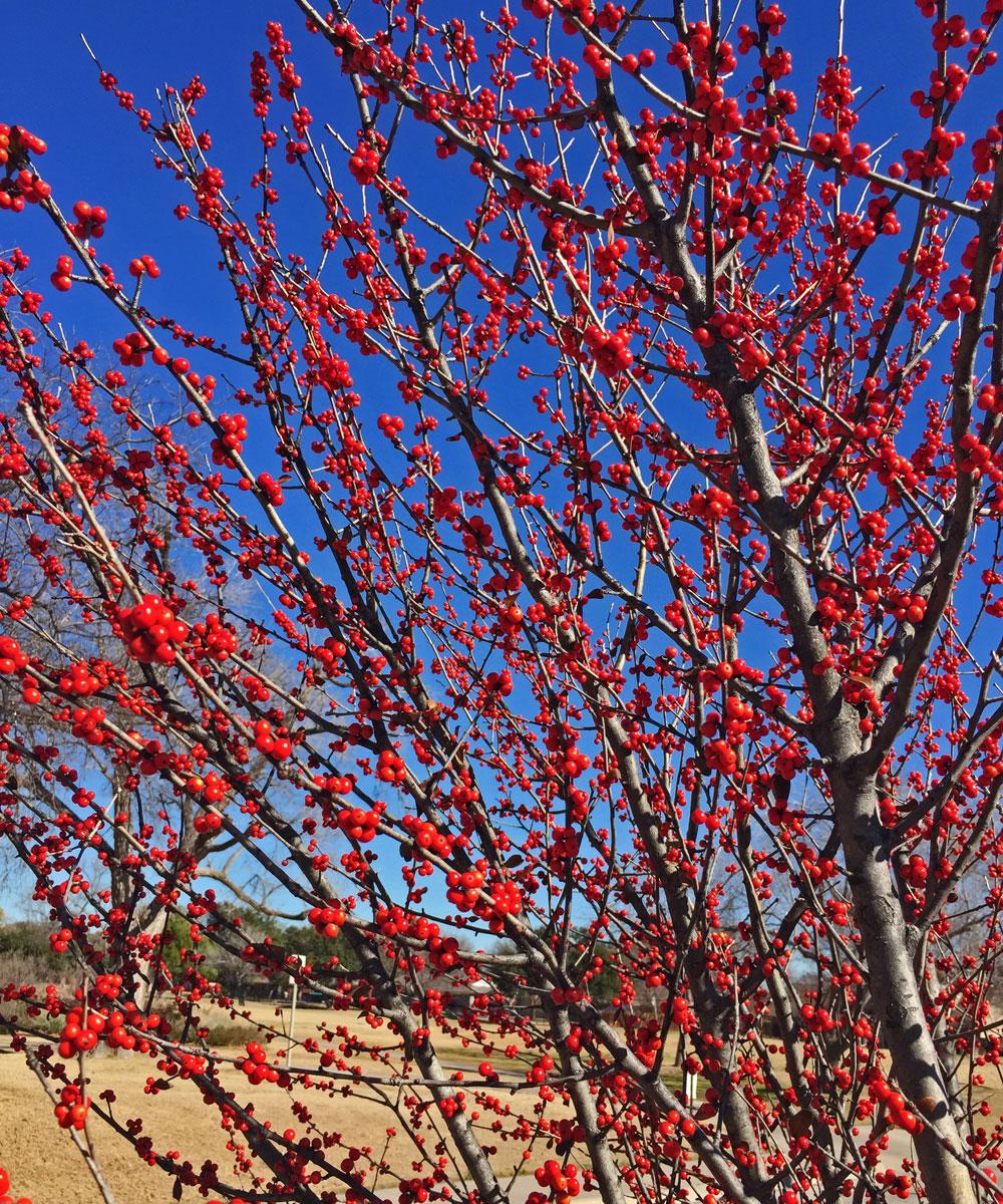 deciduous holly winter berries
