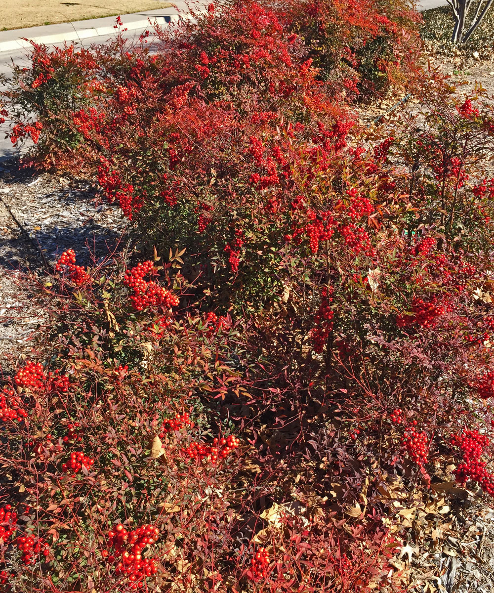 Nandina domestica shrub grouping with winter berry clusters.