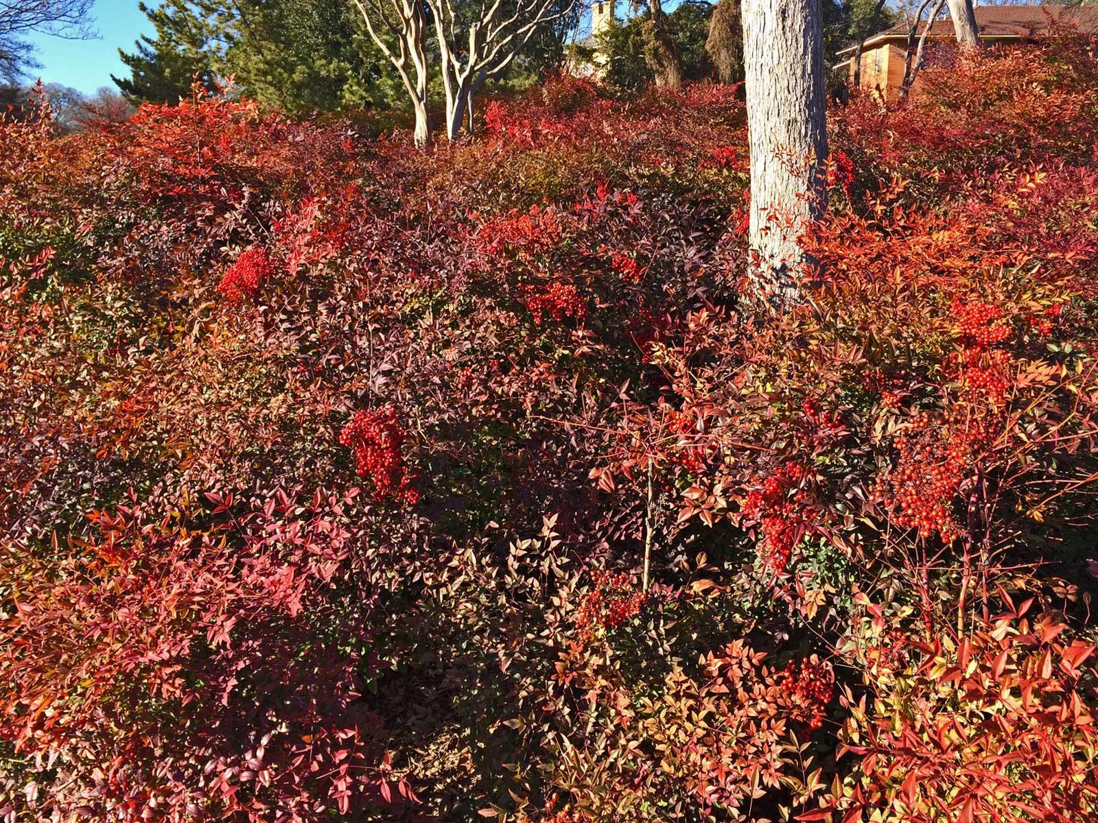 Mass planting of Nandina along Stevens Park Golf Course.