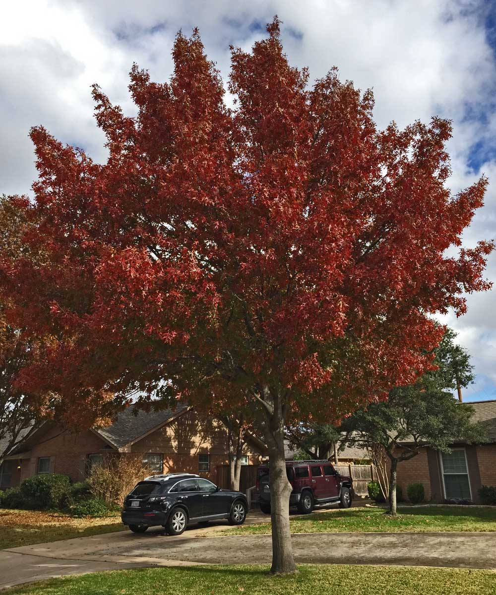 red oak tree