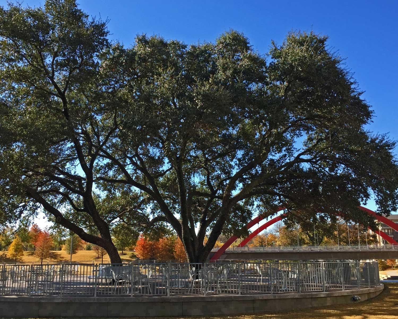 live oak tree (quercus virginiana)
