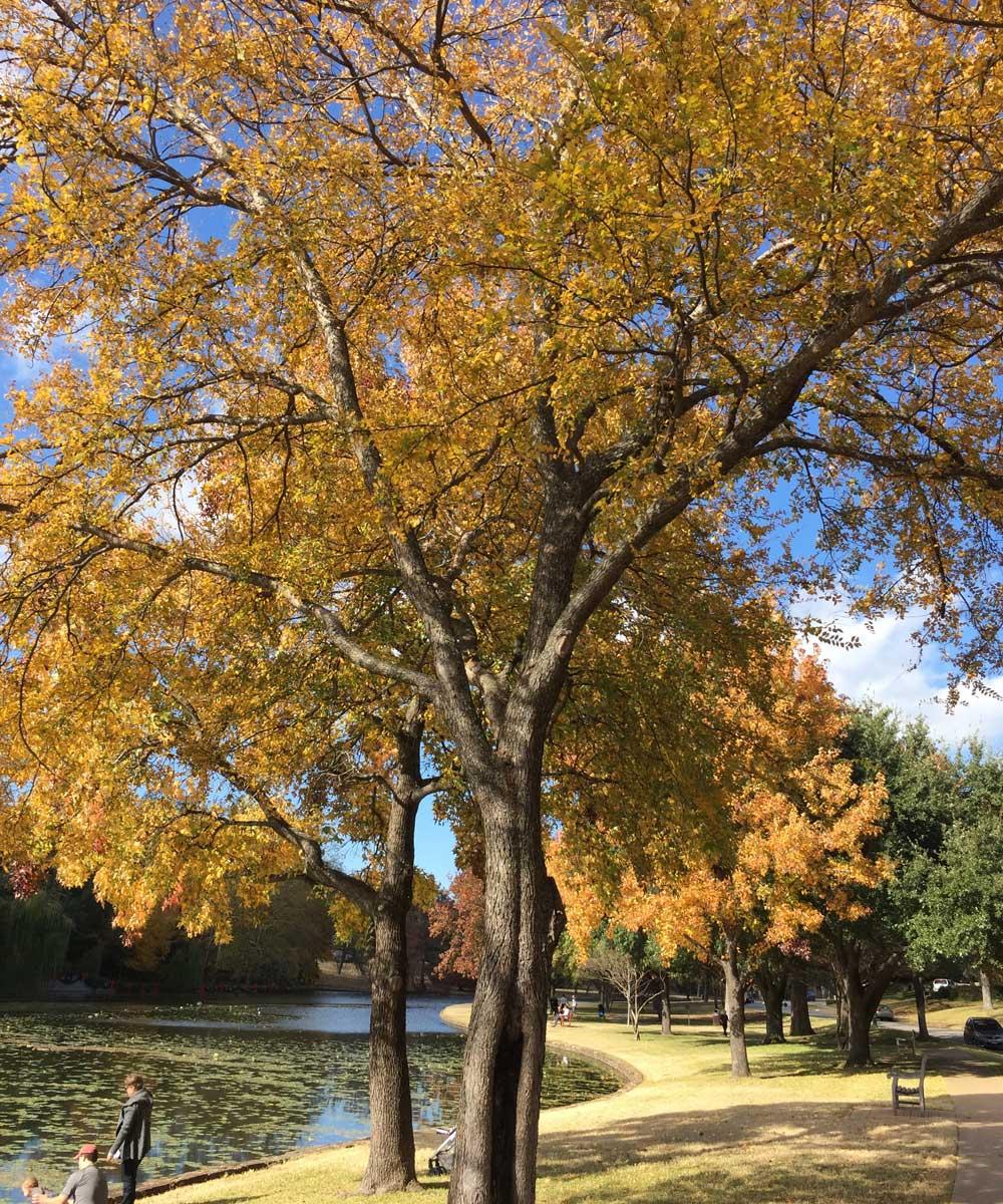 cedar elm tree fall color