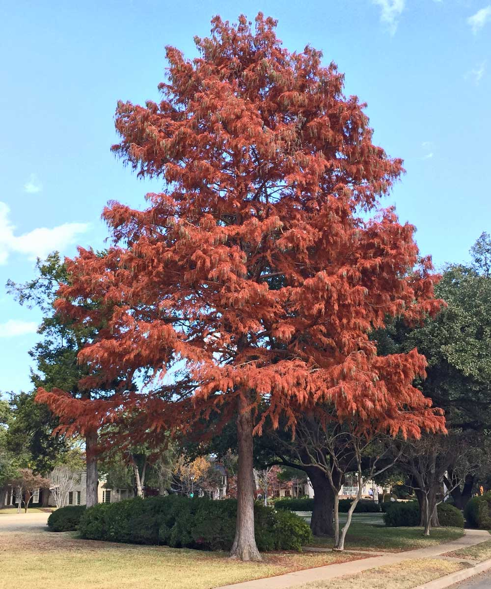 bald cypress tree fall color