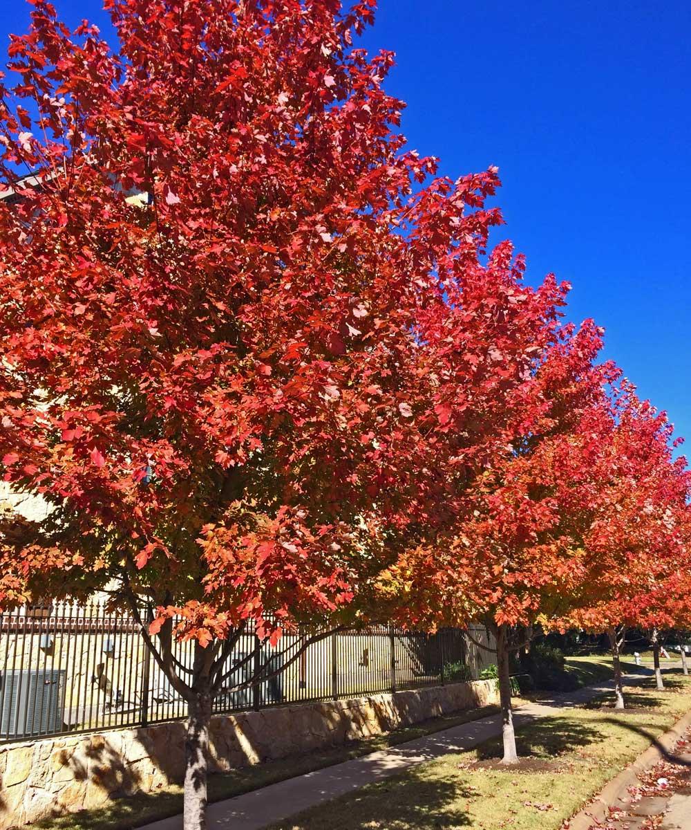 october glory maple trees