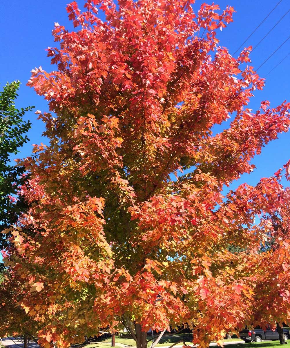 october glory maple trees fall