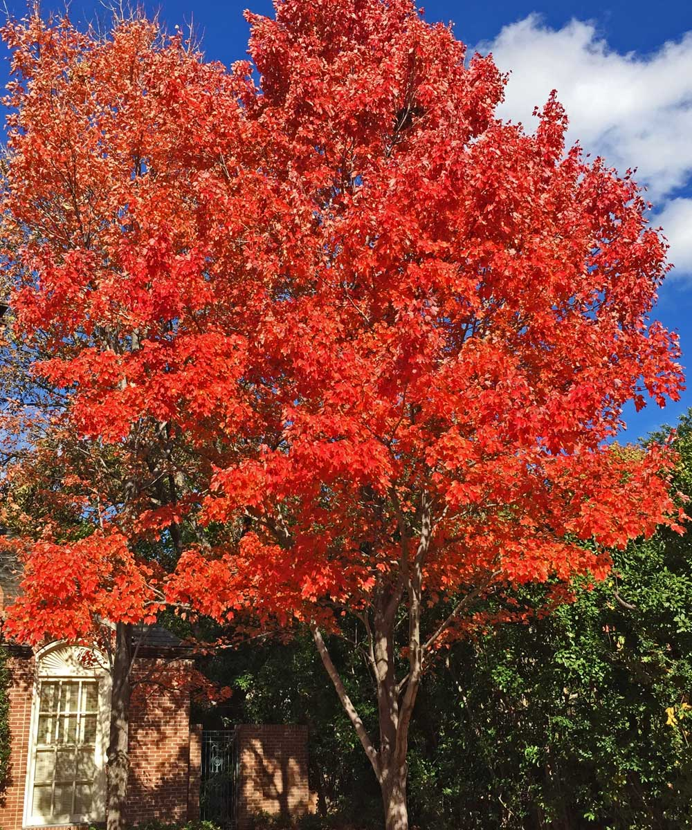 october glory maple trees fall color in dallas, texas