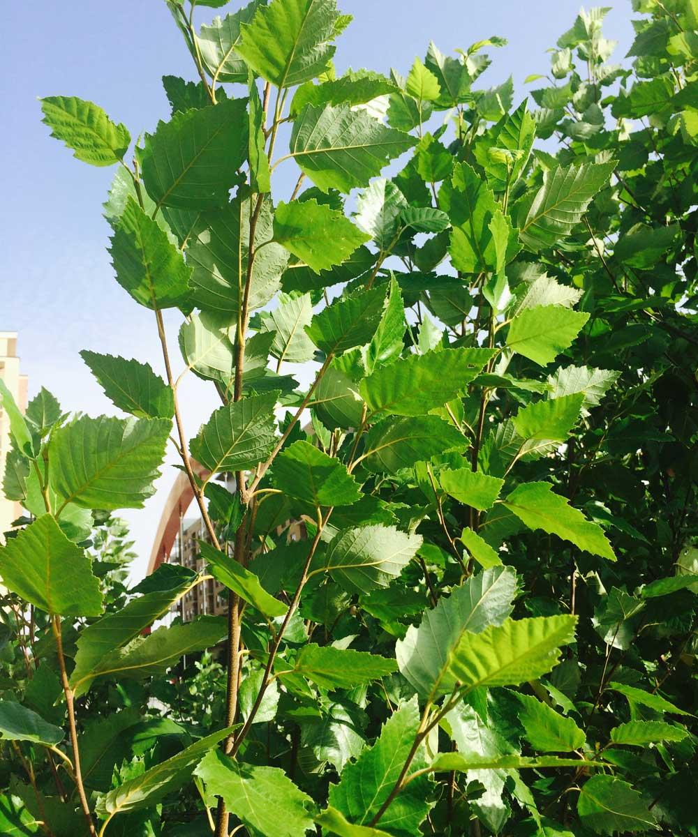 river-birch-tree-leaves