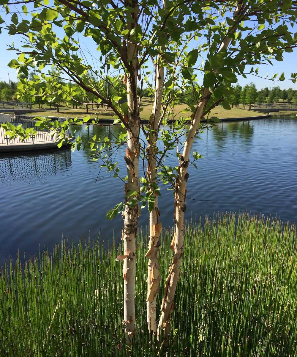 river-birch-tree