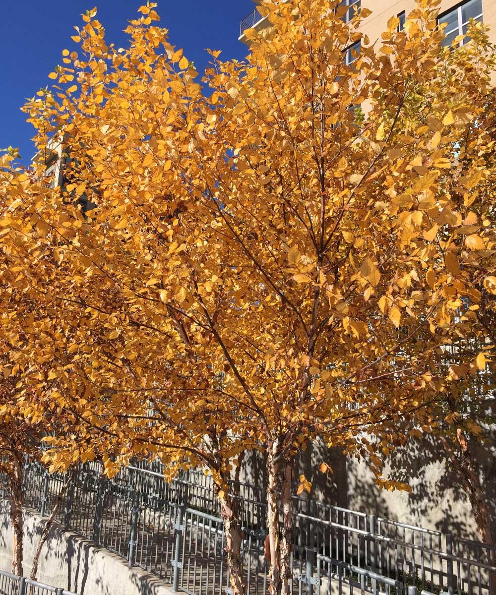 river-birch-tree-fall-color