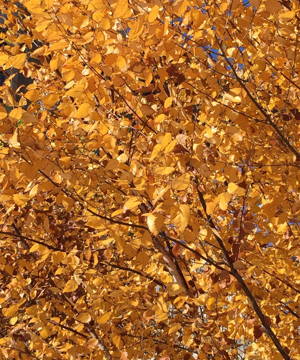 river-birch-tree-yellow-fall-color