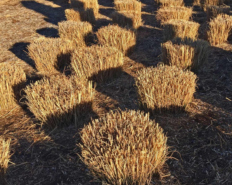 ornamental grasses cut back in early february
