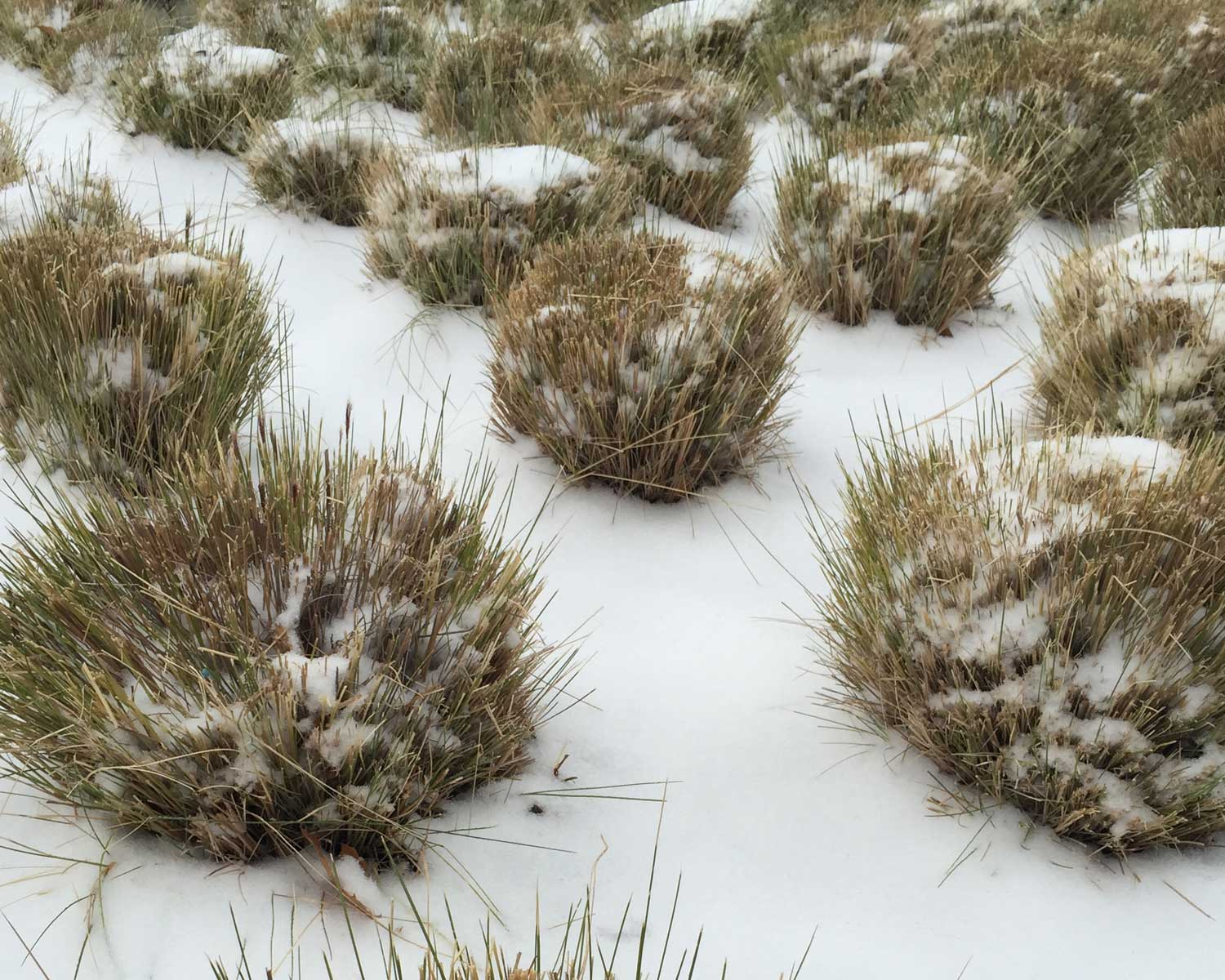 mexican feather grass cut back in snow