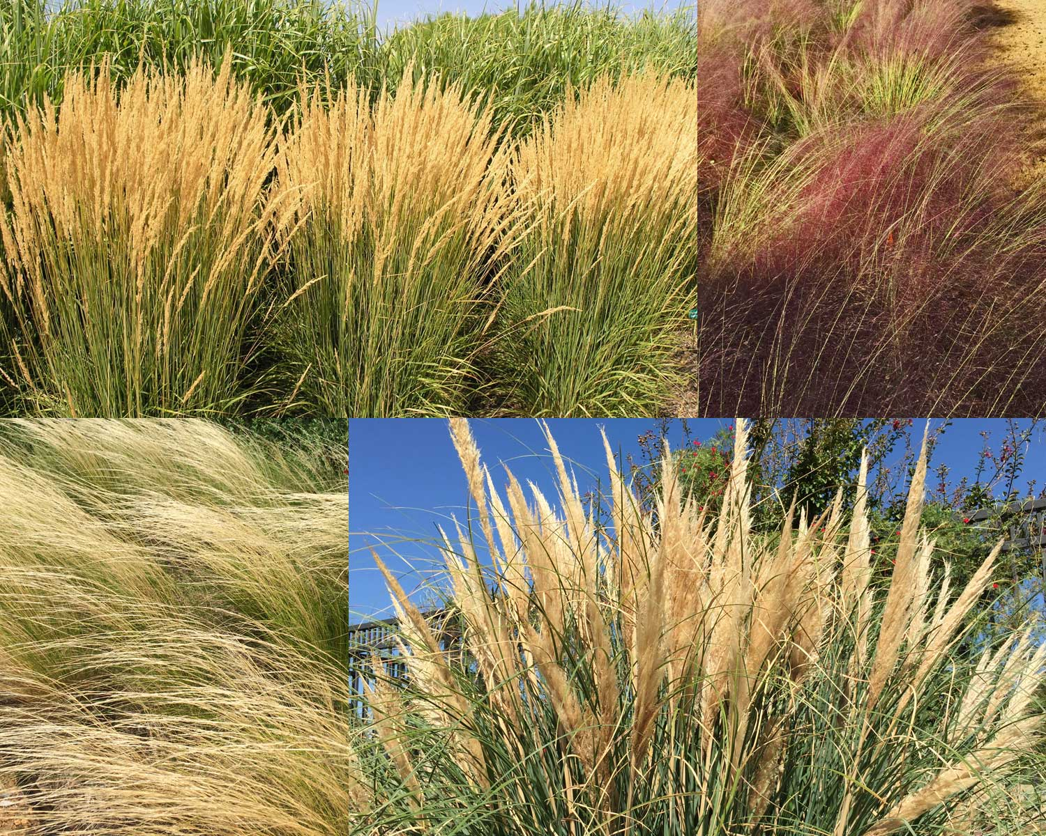 Click the image above to visit our Pinterest page of best ornamental grasses for Dallas.