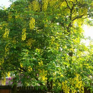 GOLDENRAIN TREE