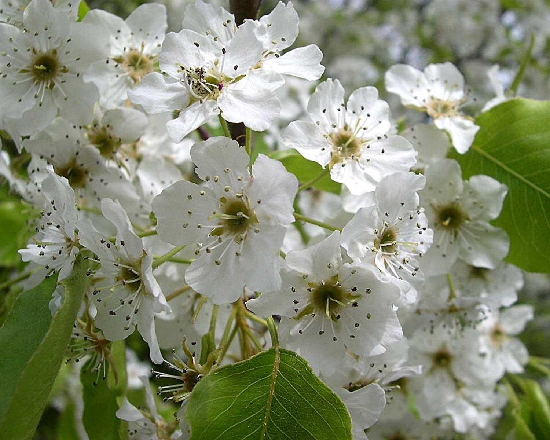 Bradford Pear blooms - via Flickr - Jason Sturner