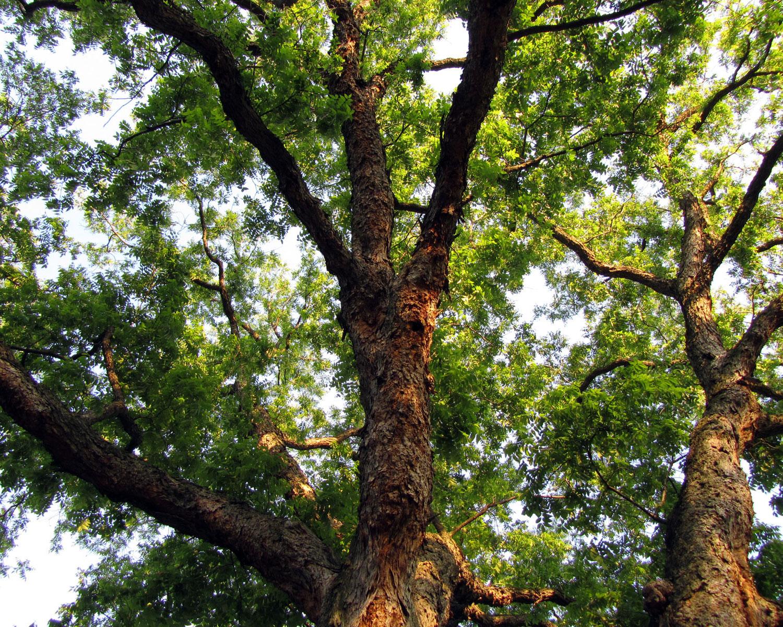 Pecan Tree  (via Flickr - Katja Schultz)
