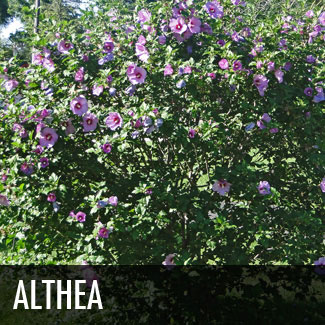 althea tree