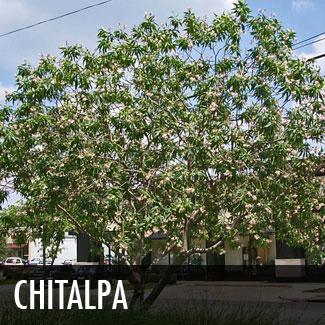chitalpa tree