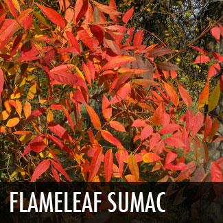 flameleaf sumac tree