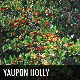 yaupon-holly-tree