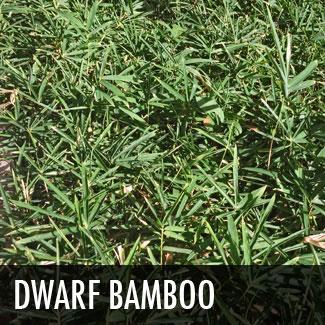 dwarf-bamboo.jpg