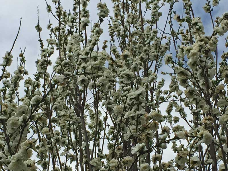 Clusters of white blooms on a Pear tree in springtime. Preferred varieties are 'Aristocrat', 'Capital' and 'Chanticleer'. Pass on the 'Bradford'.