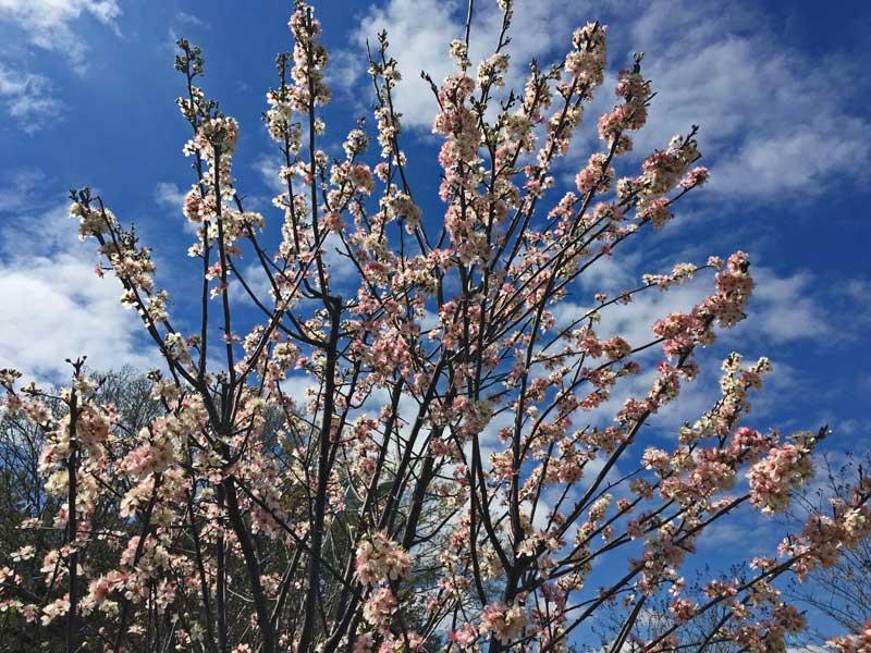 Purple Leaf Plum (Prunus cerasifera) tree showing light pink blooms.