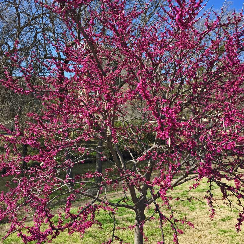 Redbud (Cercis candadensis) trees are budding out in bright pink clusters.