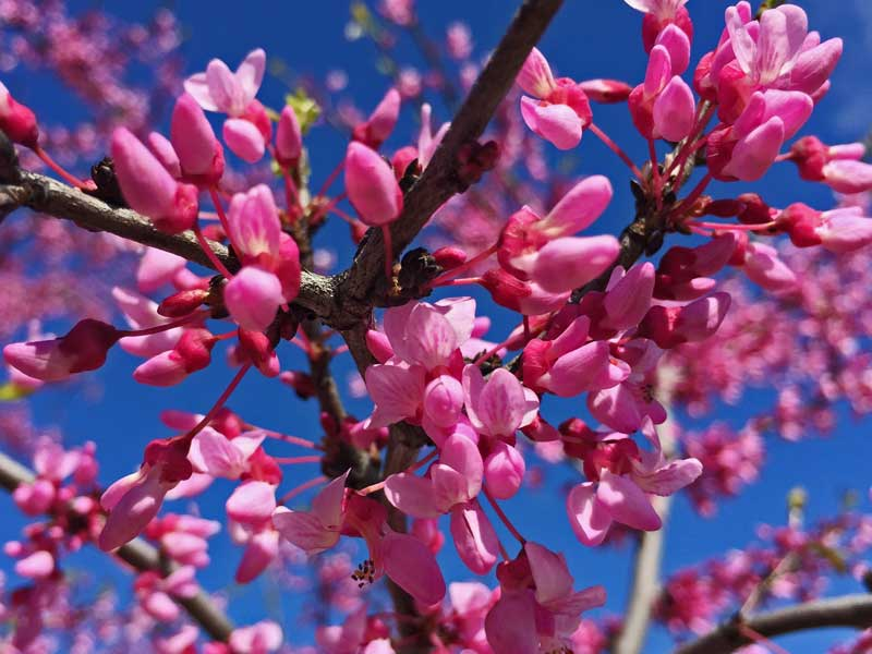 Redbuds have a great pink show inthe spring, but look quickly as they don't last long. t