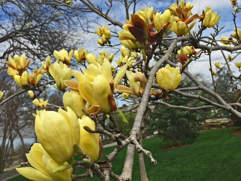 Butterfly Magnolia - A beautiful yellow blooming variety.