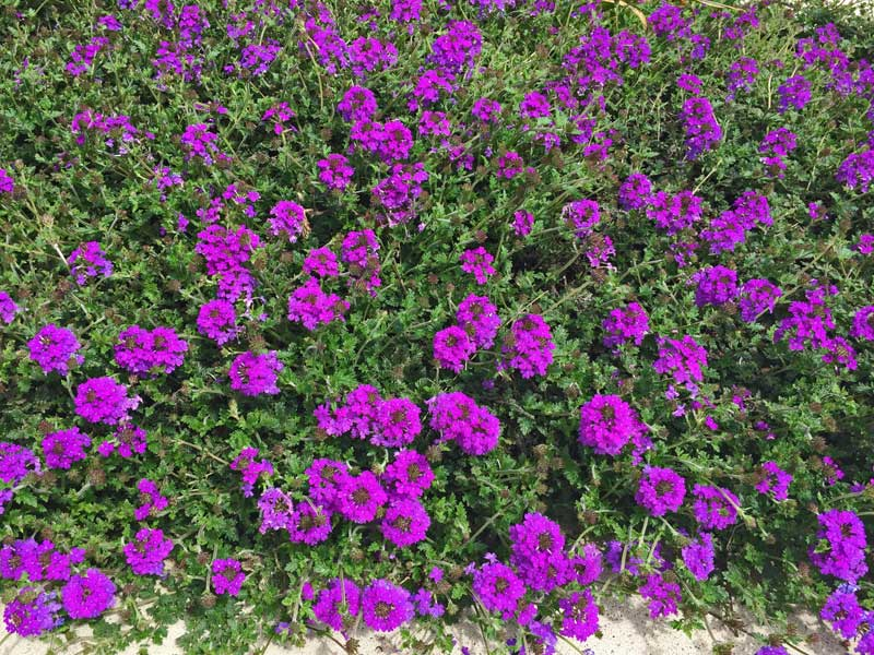 This perennial Verbena 'Homestead' is alreadyin full summer form with vibrant purple blooms.