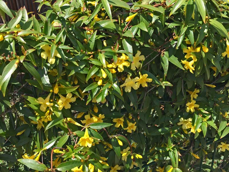 Carolina Jessamine (Gelsemium sempervirens) with lovely yellow blooms and is a great climber for fences or railings.