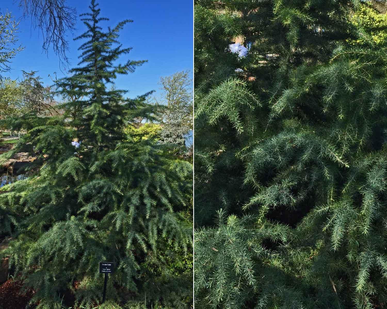 deodar cedar tree 'snow sprite'