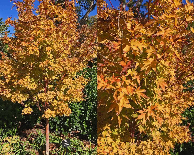 japanese-maple-tree-'sango-kaku.jpg