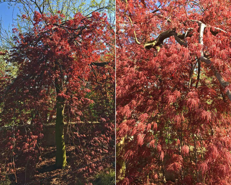 japanese-maple-tree-red-select-laceleaf-maple.jpg