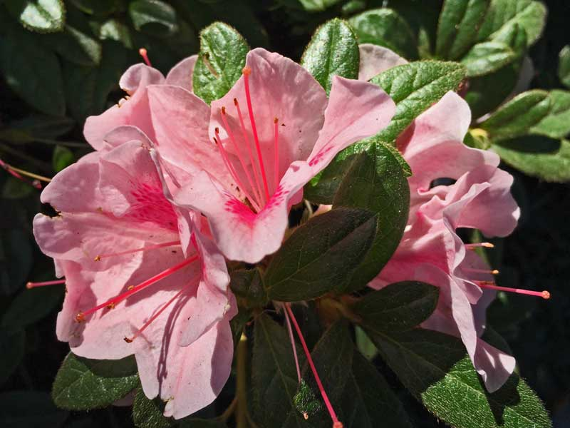 Encore Azalea 'Autumn Chiffon' (Rhododendron x hybrida)