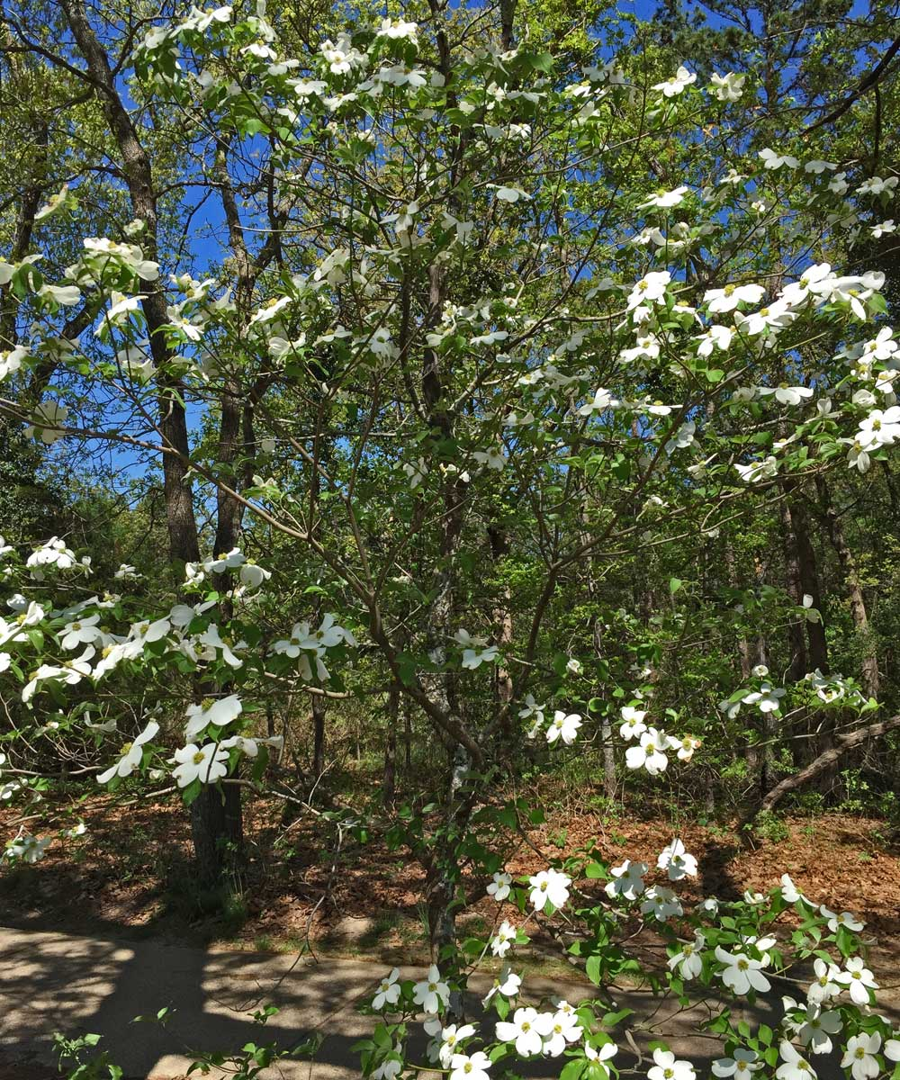 Native White Dogwood tree in East Texas