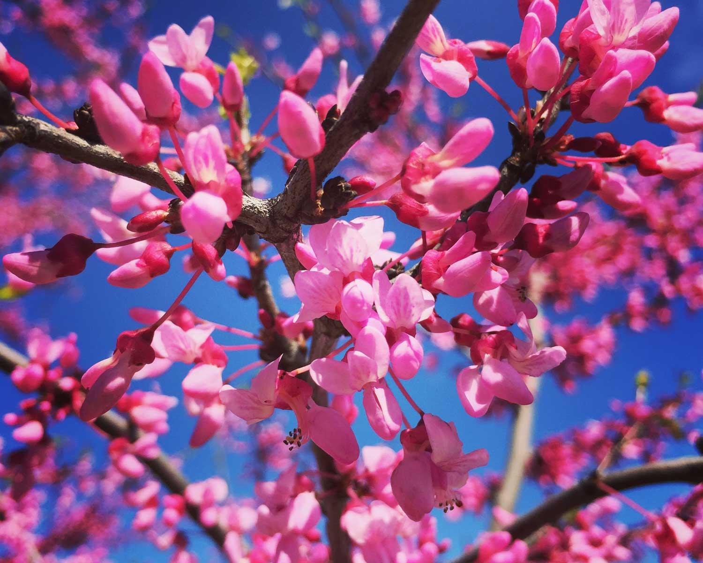 Redbud tree spring blooms (Cercis canadensis)