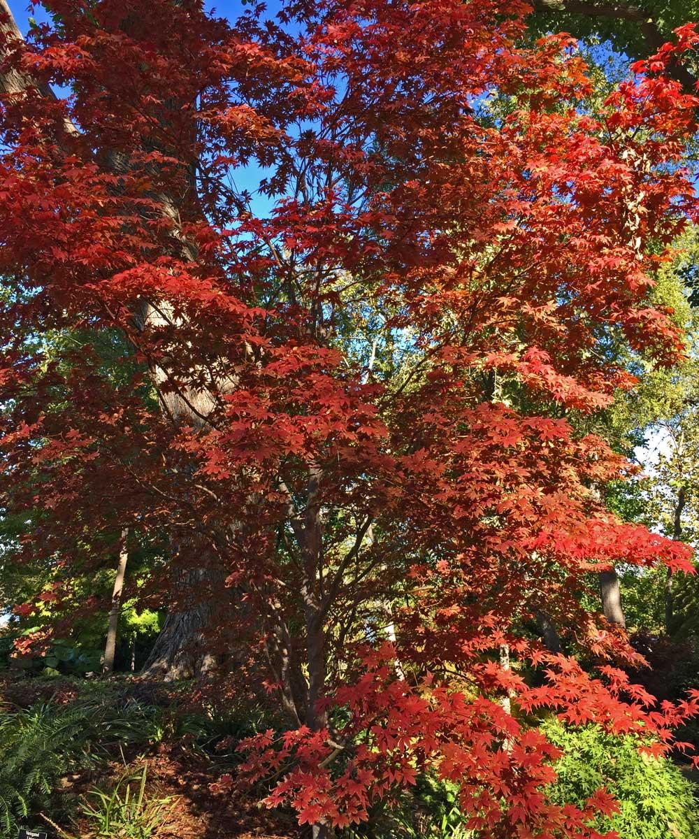 Japanese Maple 'Bloodgood' (Acer palmatum 'Bloodgood')