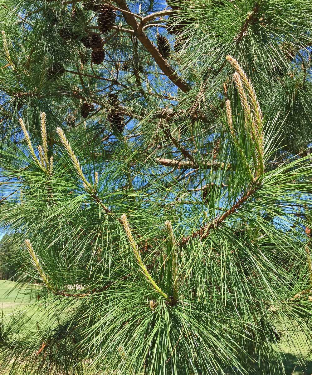 Longleaf Pine needles