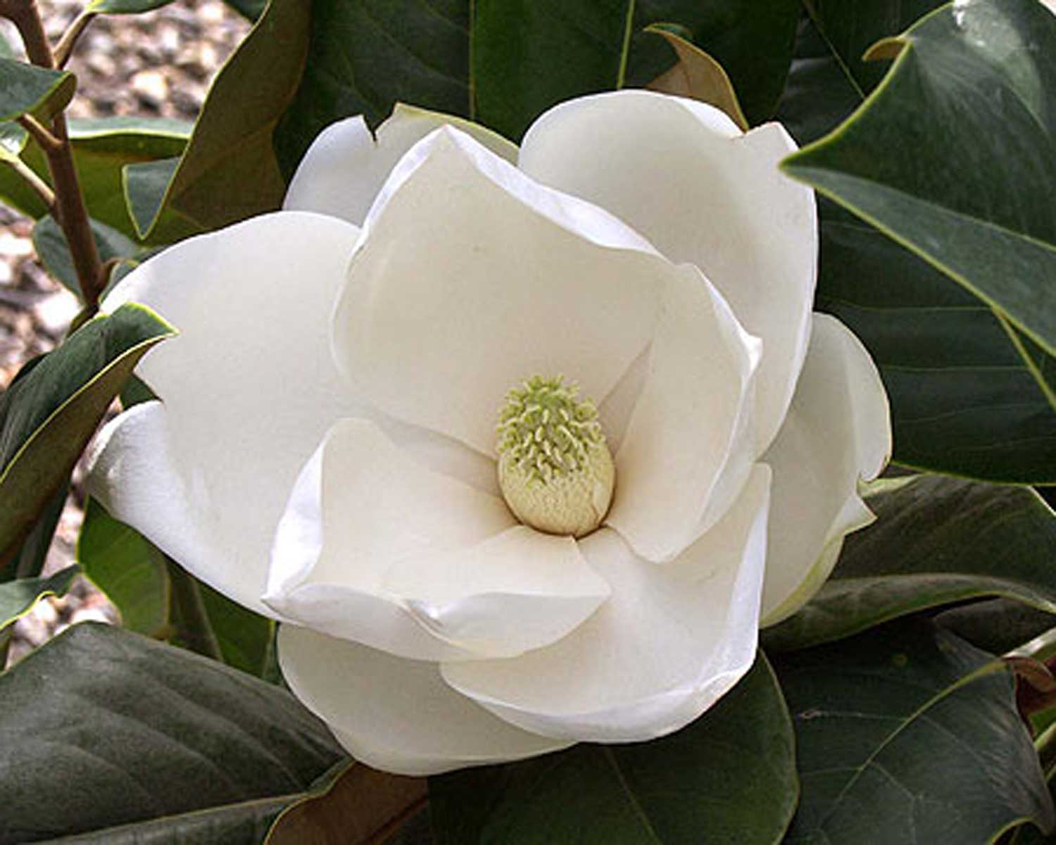 Southern Magnolia white bloom flower
