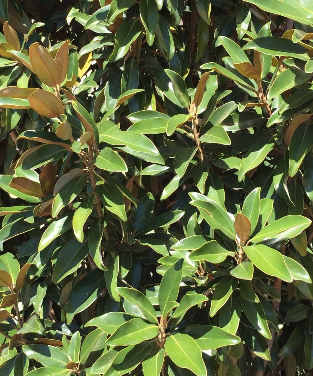 Lustrous leaf texture of the Magnolia Tree