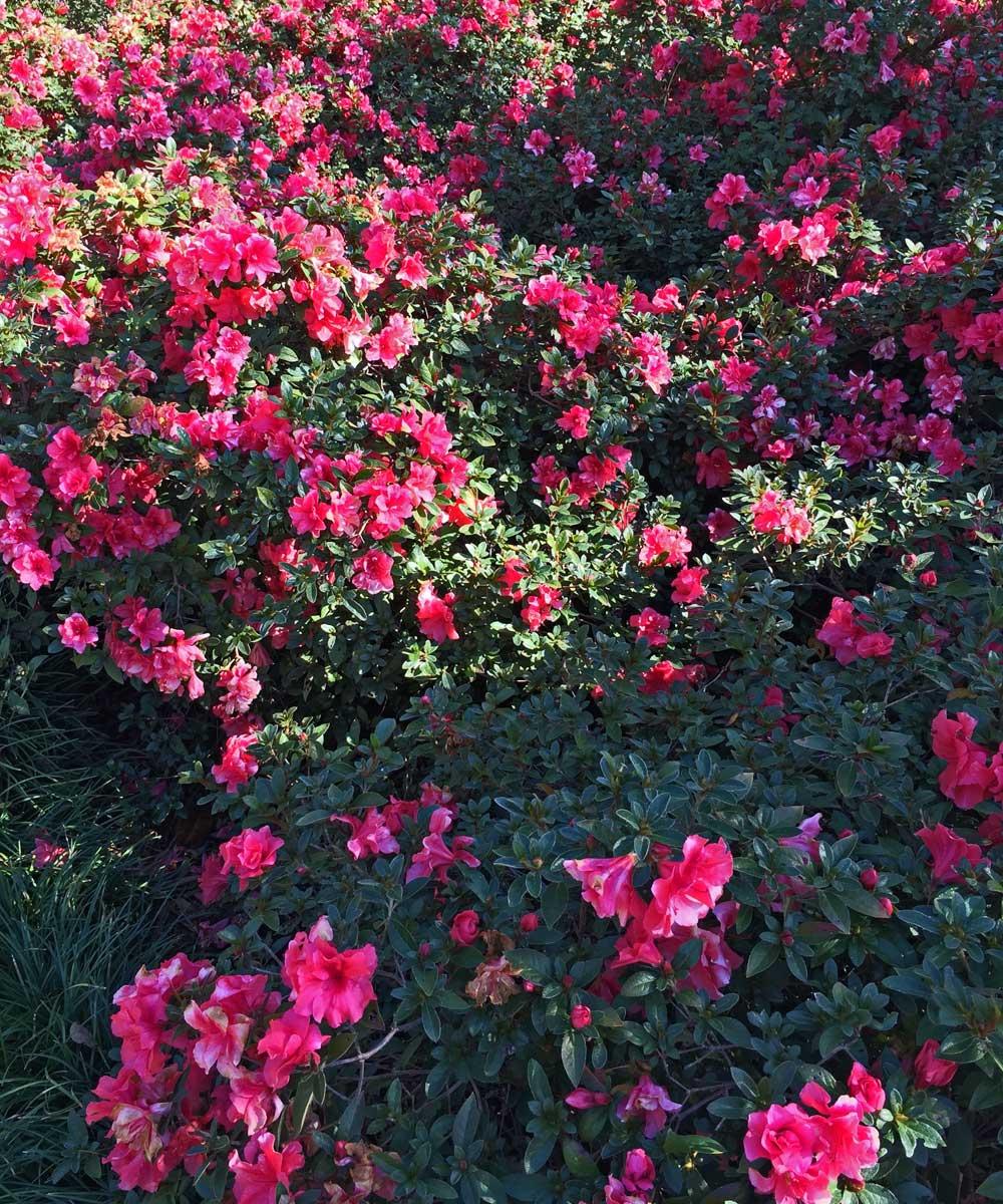 Encore Azalea 'Autumn Cheer'(Rhododendron x hybrida)