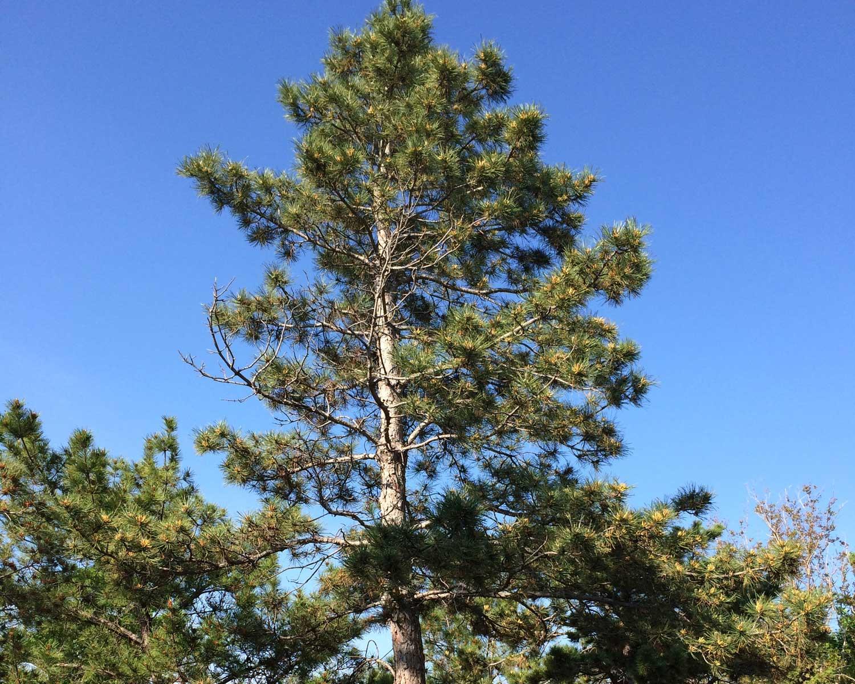 eldaria pine tree