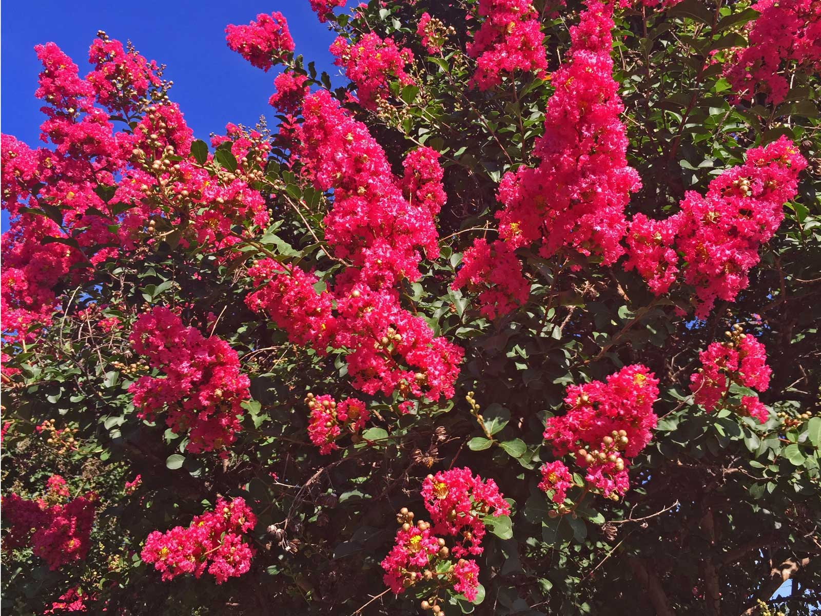 crape myrtle tree 'dallas red'