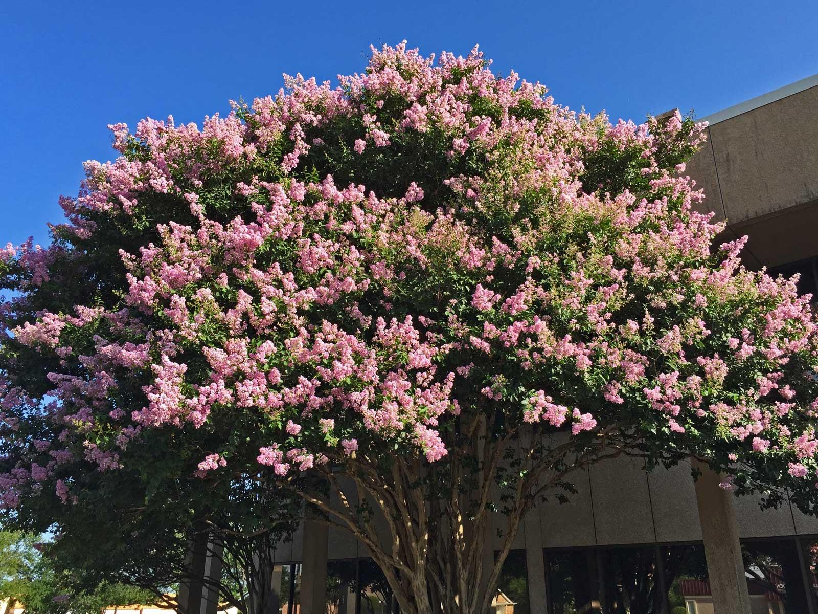crape myrtle tree 'muskogee'