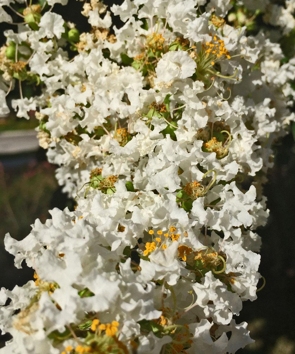 crape myrtle tree 'natchez' blooms