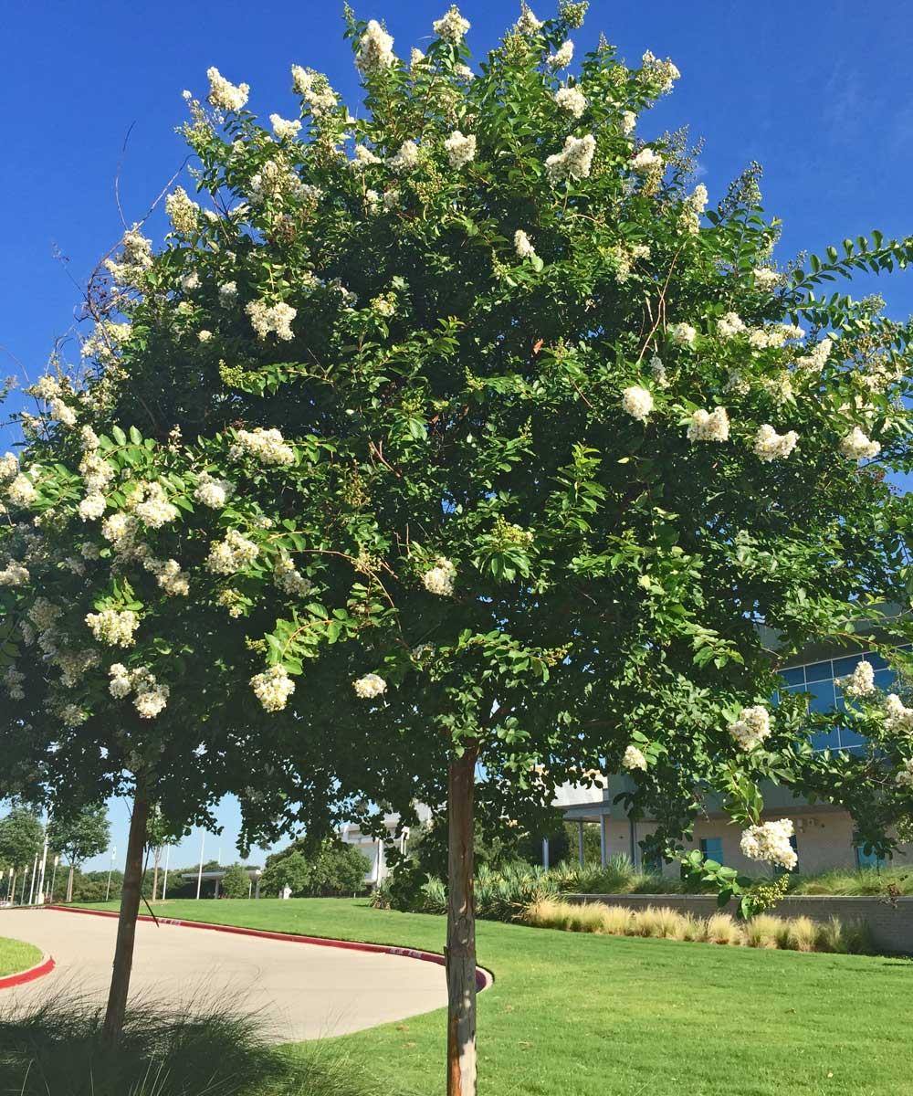 single trunk crape myrtle tree 'natchez'
